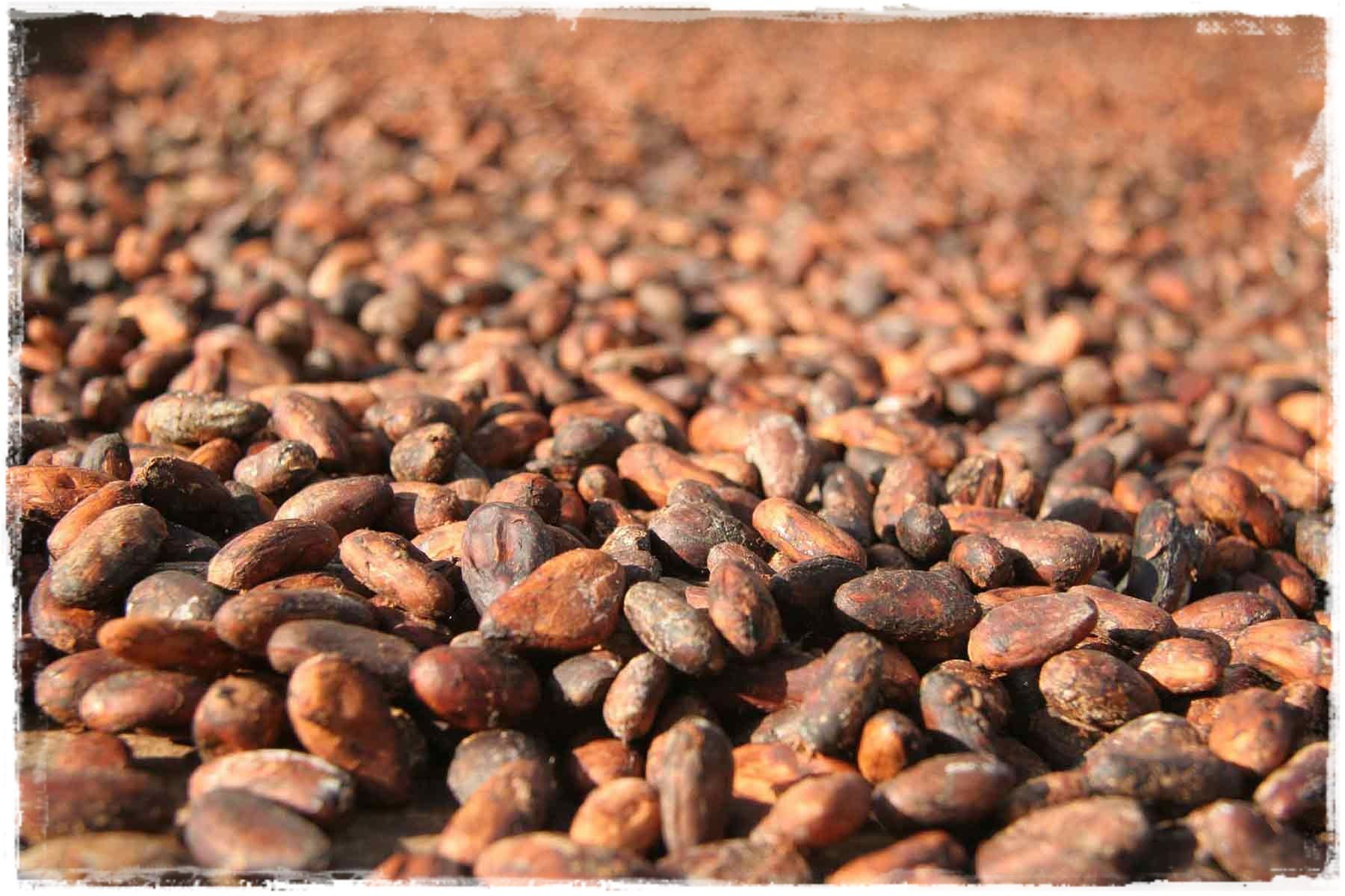 organic raw cacao-cocoa beans